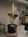 Corpse plant after bloom 7/31/13